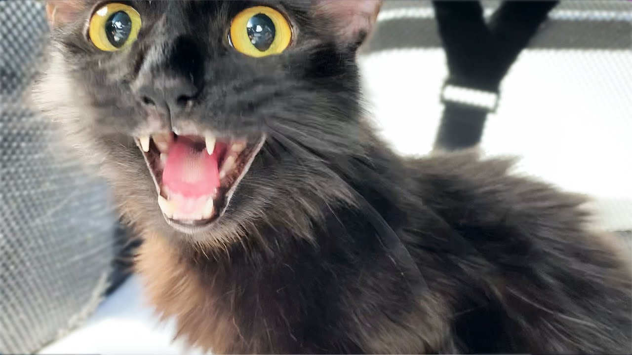 Stray Cat *FREAKS OUT* at First Vet Visit