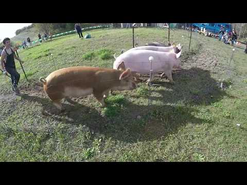 Pig Racing is alive and well at Hugli's!