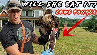 Will a Hawk Eat a Cow's Tongue?