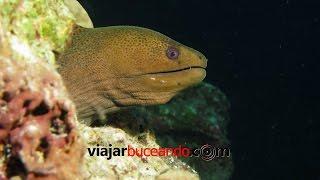 VIDEOSUB MORENA GIGANTE vs PULPO (Gymnothorax javanicus vs Octopus vulgaris)