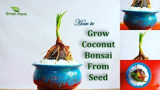 How to Grow Coconut Bonsai From Seed & Step By Step Updates |Coco Growing Easy at Home//GREEN PLANTS