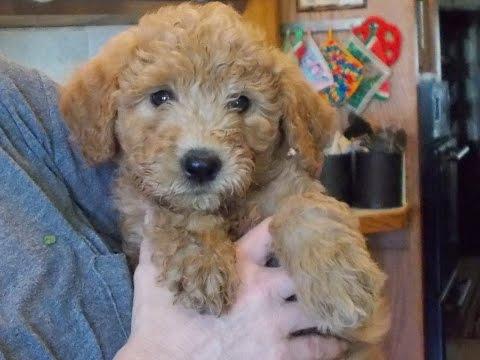 Goldendoodle Dandies at 7 weeks old--