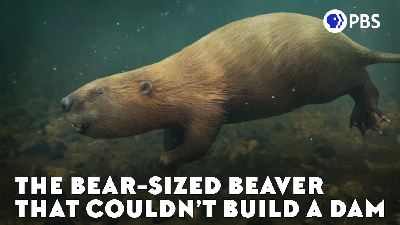 Download What Happened to the World's Biggest Beaver?