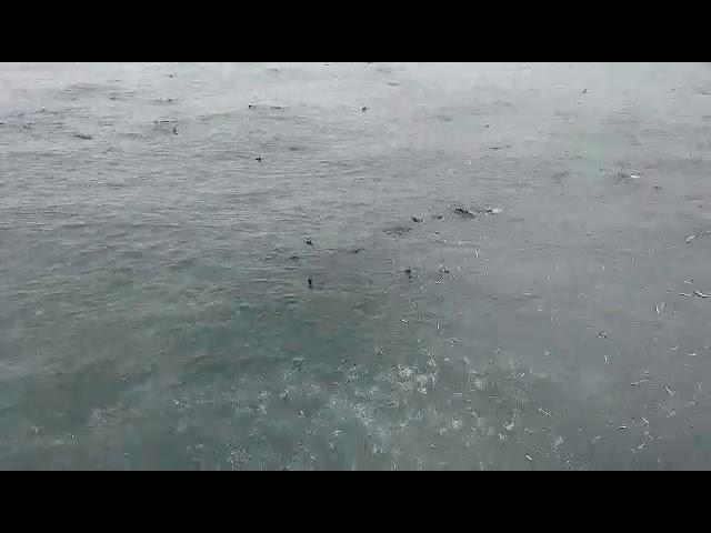 Los lobos marinos ¿Ángeles del Mar o depredadores de recursos pesqueros?