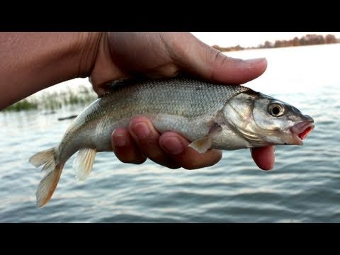 Fishing With Rod: Pole Fishing In Fraser Estuaries