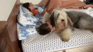 Opium, Bearded Collie Girl, réveil matin ...