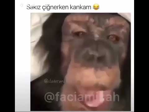 Çok komik maymun video su