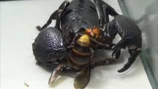 Versus.Шершень против скорпиона,богомола,тарантула