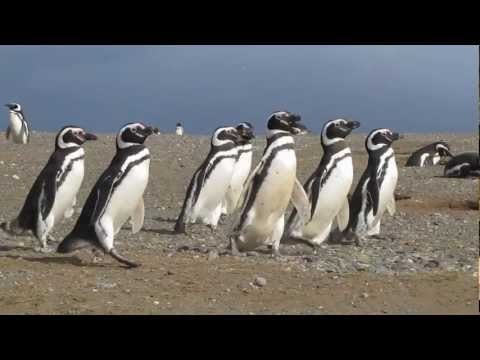 Chile Travel: March of the Magellanic penguins