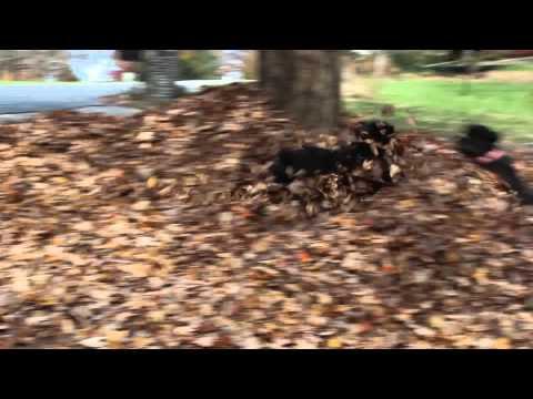 Portuguese Water Dogs -- Leaf Pile Battle