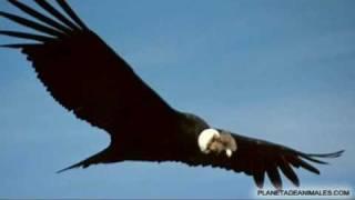 Condor / Vicentico (Gabriel Fernandez Capello Y Los Cardenas)