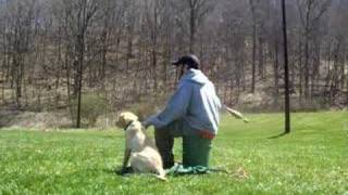 Lab Puppy Training For Hunt Tests