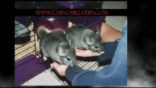 Chinchilla Info Thumbnail