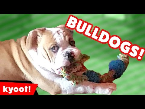 The Funniest Cute Bulldog Videos of 2016 Weekly Compilation | Kyoot Animals
