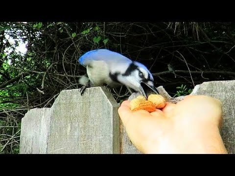 Hand Feeding Blue Jays - Nesting Behavioral Changes