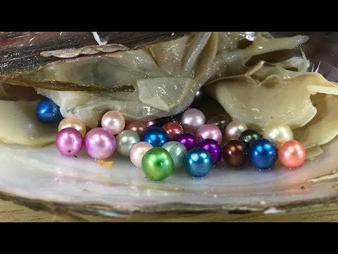 DON'T CHOOSE THE WRONG REAL CLAM  WITH GIANT COLORED PEARLS
