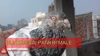 Best pigeon breeds -  silver gola raw pankhi pigeon male. bd rahman pigeons loft.
