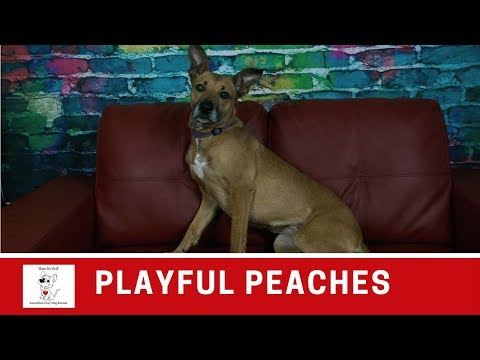 Peaches | Pretty and Playful | Medium Female Kelpie Mix