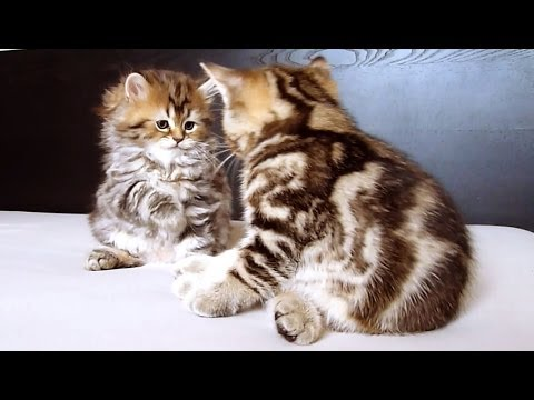 Fighters and Spectators  | Funny  and  Cute Kittens
