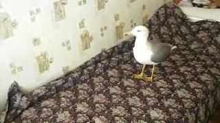 прикол с чайкой