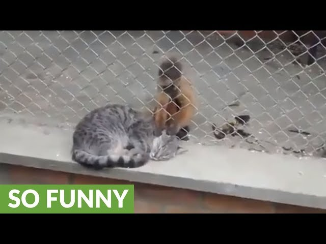 Monkey lovingly grooms feral cat at the zoo