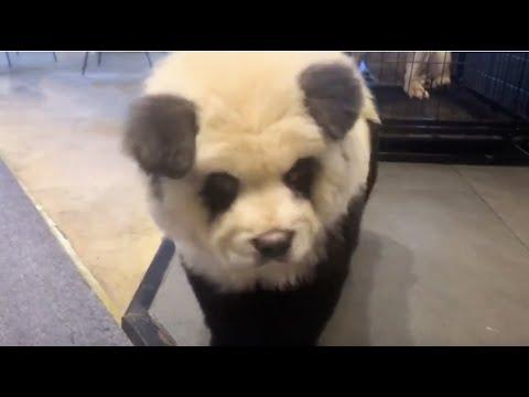 A panda? A dog? Or a 'panda dog'?