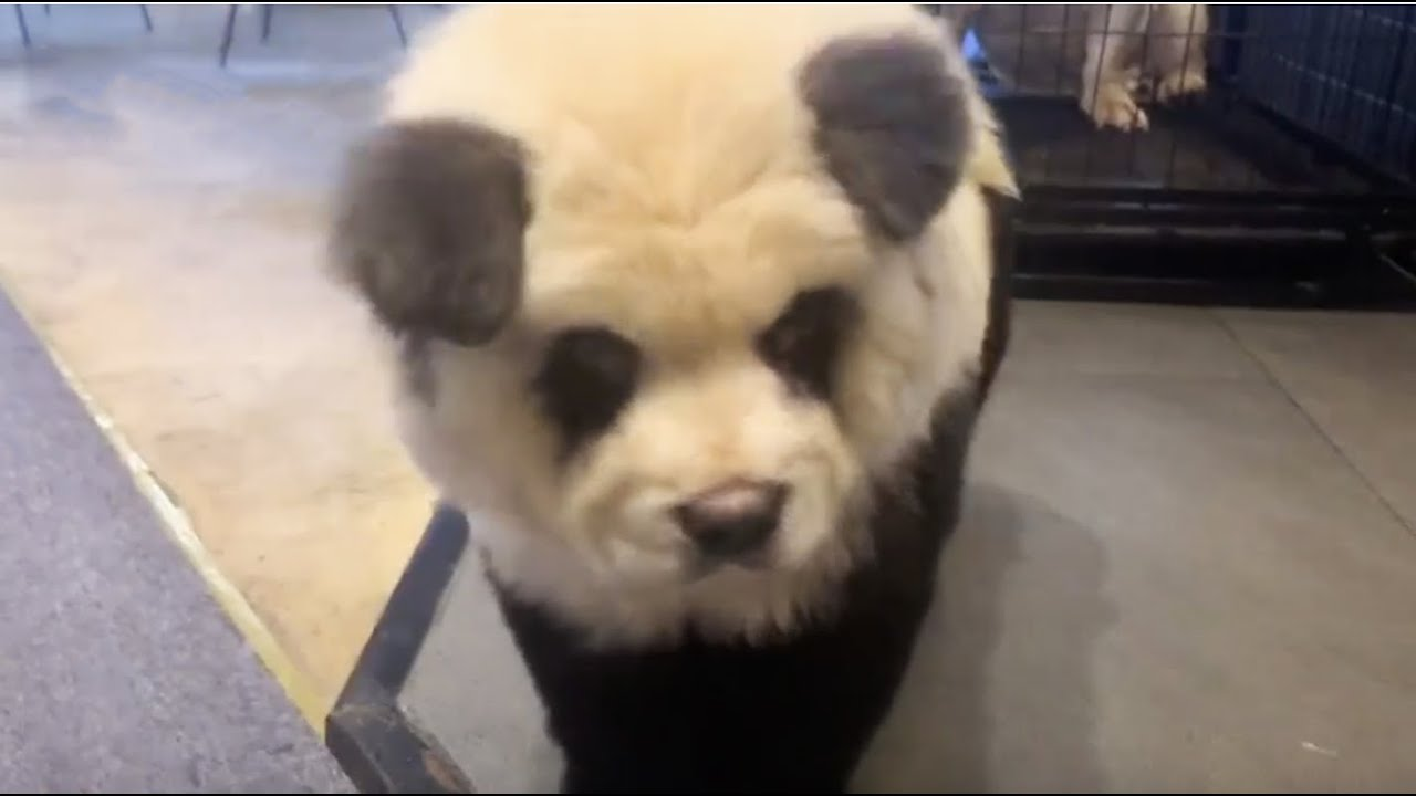A Panda Dog Or You