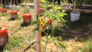 Высокорослые помидоры / Индетерминантные томаты / Пасынкование / Формирование куста(В этом видео я рассказываю о высокорослых (индетерминантных) томатах, их формировании, росте куста томата..., 2015-06-17T00:01:34.000Z)