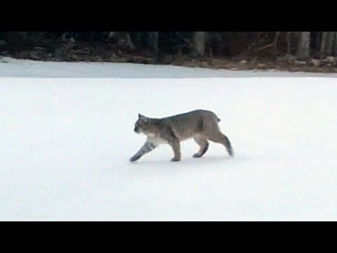 Family Of Bobcats Spotted Near Halifax