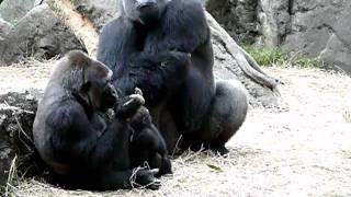 ニシローランドゴリラの親子.Gorilla family.上野動物園。おとうさんも...