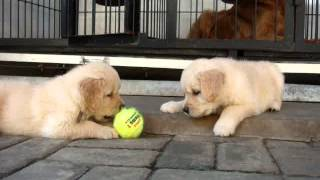 Golden Retriever Puppy: Playing With Tennis Ball Vid 2 - Litter E (von L'autumn Kennel)