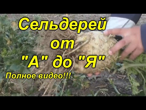 Корневой сельдерей выращивание от начала и до конца в одном видео!