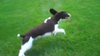 Shadow The Amazing Springer Spaniel