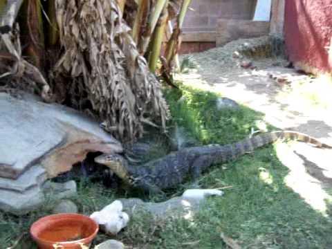 Lizard In My Backyard giant water monitor lizard in my backyard !! - youtube