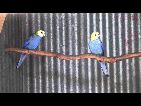 Pale-Headed Rosellas   BirdSpyAus