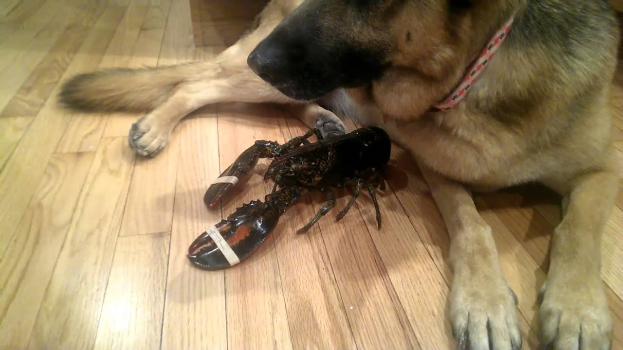 German shepherd protective over a lobster youtube for Lobster shepherd s pie