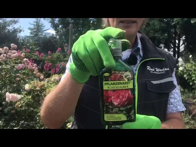 Mehltau und Rosenrost an Rosen natürlich bekämpfen