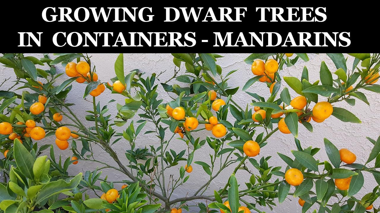 Growing Dwarf Citrus Trees In Containers Kishu Mandarin