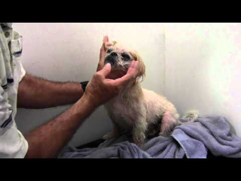 Shih Tzu Skin Allergy, Eye Care & Diet