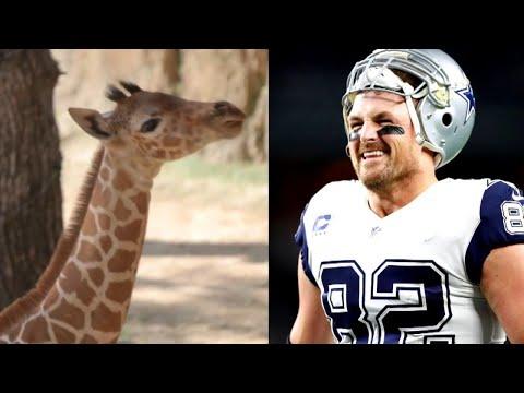Texas Zoo Names Baby Giraffe After Legendary Dallas Cowboy