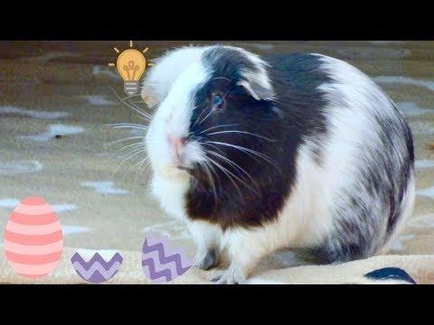 Guinea Pigs Go On Easter Egg Hunt