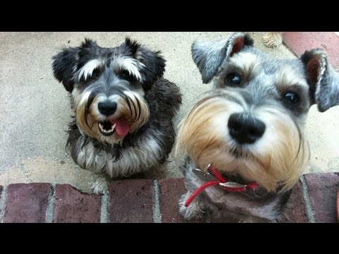 A Schnauzer Symphony Dancing Howling Crazy Funny Dogs