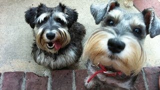 A Schnauzer Symphony 2: Dancing, Howling, Crazy Funny Dogs
