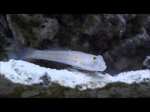 Diamond Watchman Goby Sifting Sand