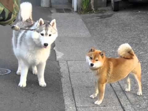 Shiva S Pet Dog