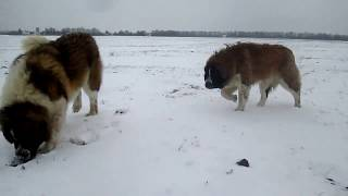 Московские Сторожевые ГЕЛЕНДВАГЕН БРАБУС и ВЛАДУШКА ГОЛУБУШКА радуются долгожданному снегу 01.2018