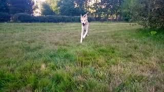 Ханаанская собака Лизка