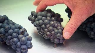 Pinot Noir Programme