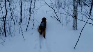 Нагонка русской гончей по зайцу (Дунай,8 месяцев) 2017 год.Заяц в кадре