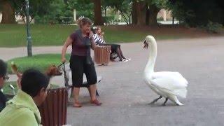 Гордые и бесстрашные лебеди - 1. Swan attack!
